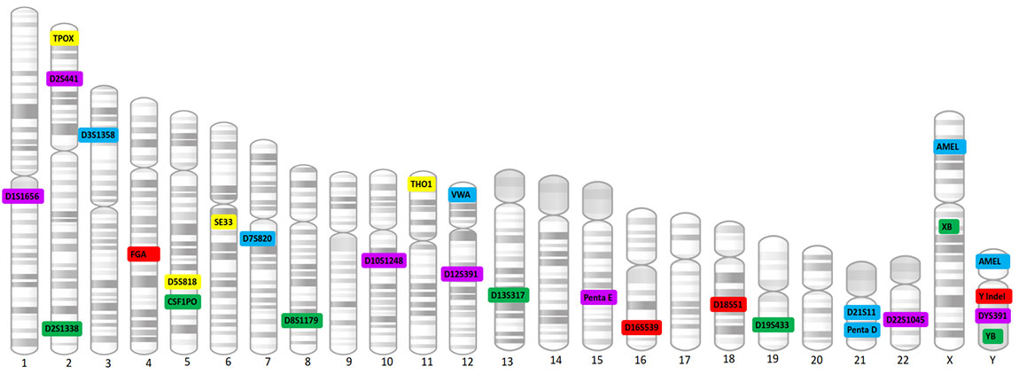 Locations of GTDetector Globe STR markers on autosomal and sex chromosomes