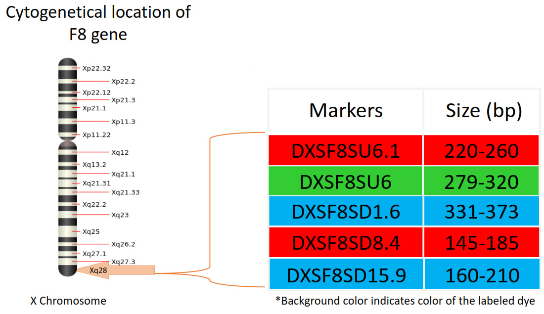 Markers locations on X chromosome in GTHapScreen F8 kit for Factor VIII deficiency or Hemophilia A disorder diagnosis