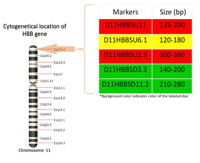 Locations of markers on chromosome 11 in GTHapScreen HBB 5-dye QF-PCR kit for Beta Thalassemia diagnosis